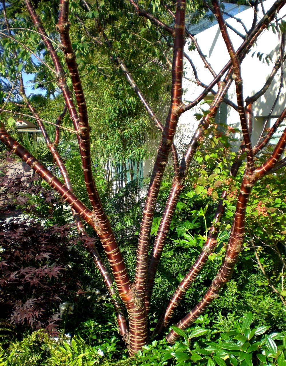 Glanskirsebær, glinsende bark. Prunus serrula tibetica   Prunus ...