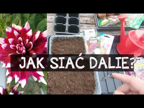 50 Jak Siac Dalie Dalie Z Nasion Www Kasia In Youtube