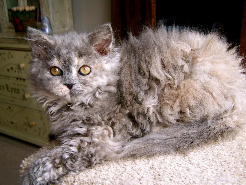 Image result for Selkirk Rex cat poodle