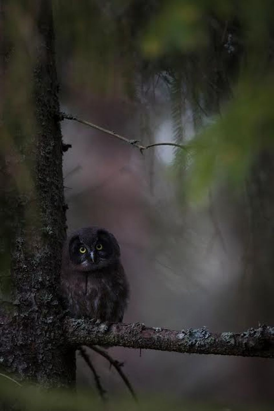 Tengmalm's owl in the woods of Finland.  Photo by:Jani Ylikangas