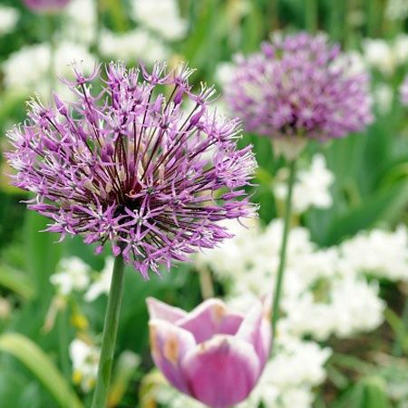 Star Of Persia Allium Fall Plants Planting Bulbs Plants