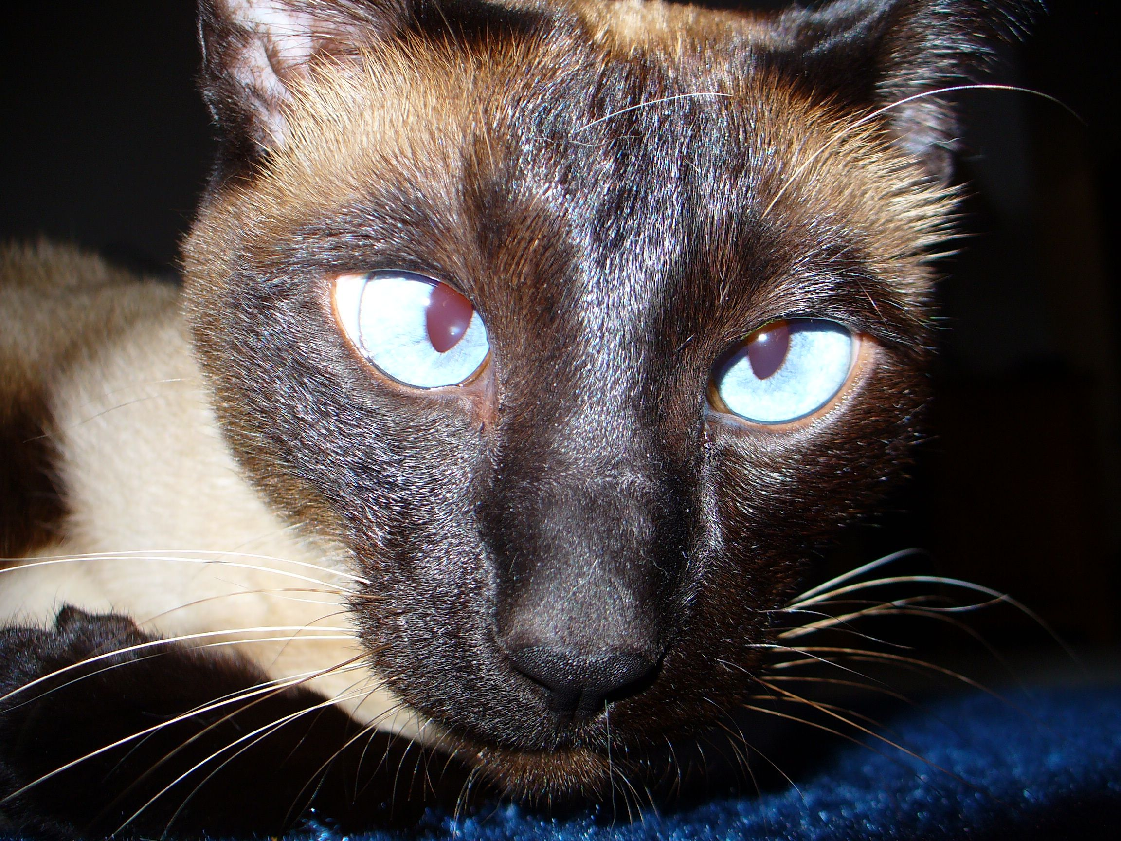13 Facts About Siamese Cats Cat eye problems, Siamese