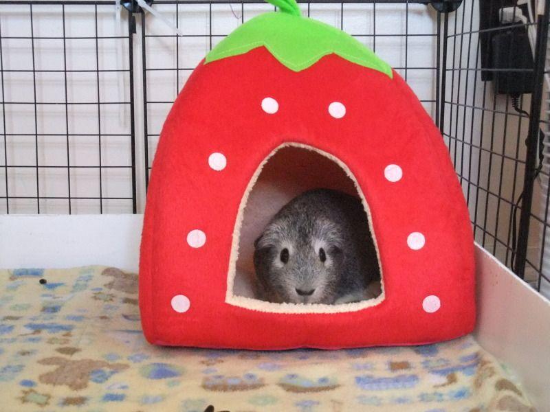 Guinea Pig Toys : Homemade guinea pig toys ideas for the house pinterest