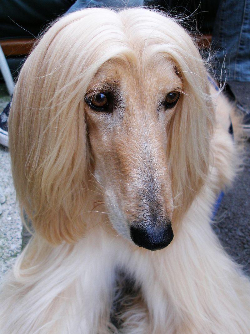 Dog For Sale Melbourne Australia Afghan Hound 3500 Only