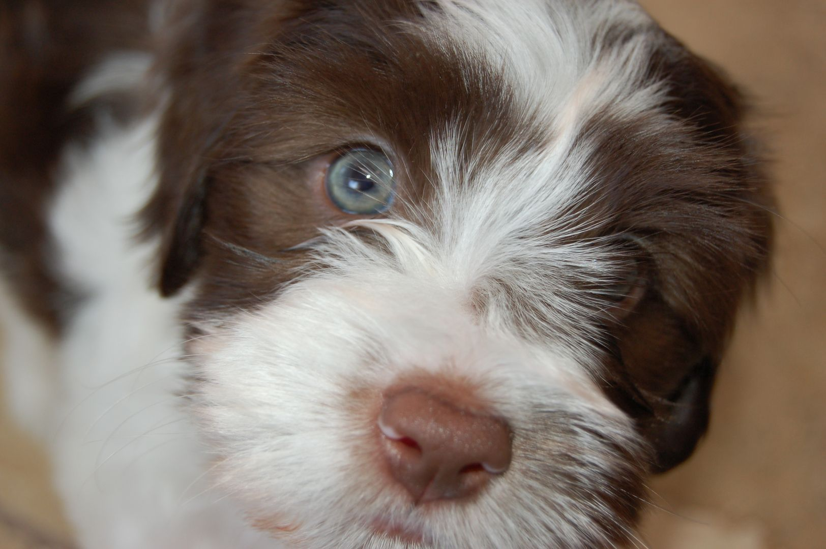 Akc Chocolate Puppies For Sale in Maine, Toy Dog Maine
