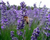 Heirloom 40 Provence Lavender Lavandula Garden Common Lavendar Blue Purple Flower Bulk Seeds A007