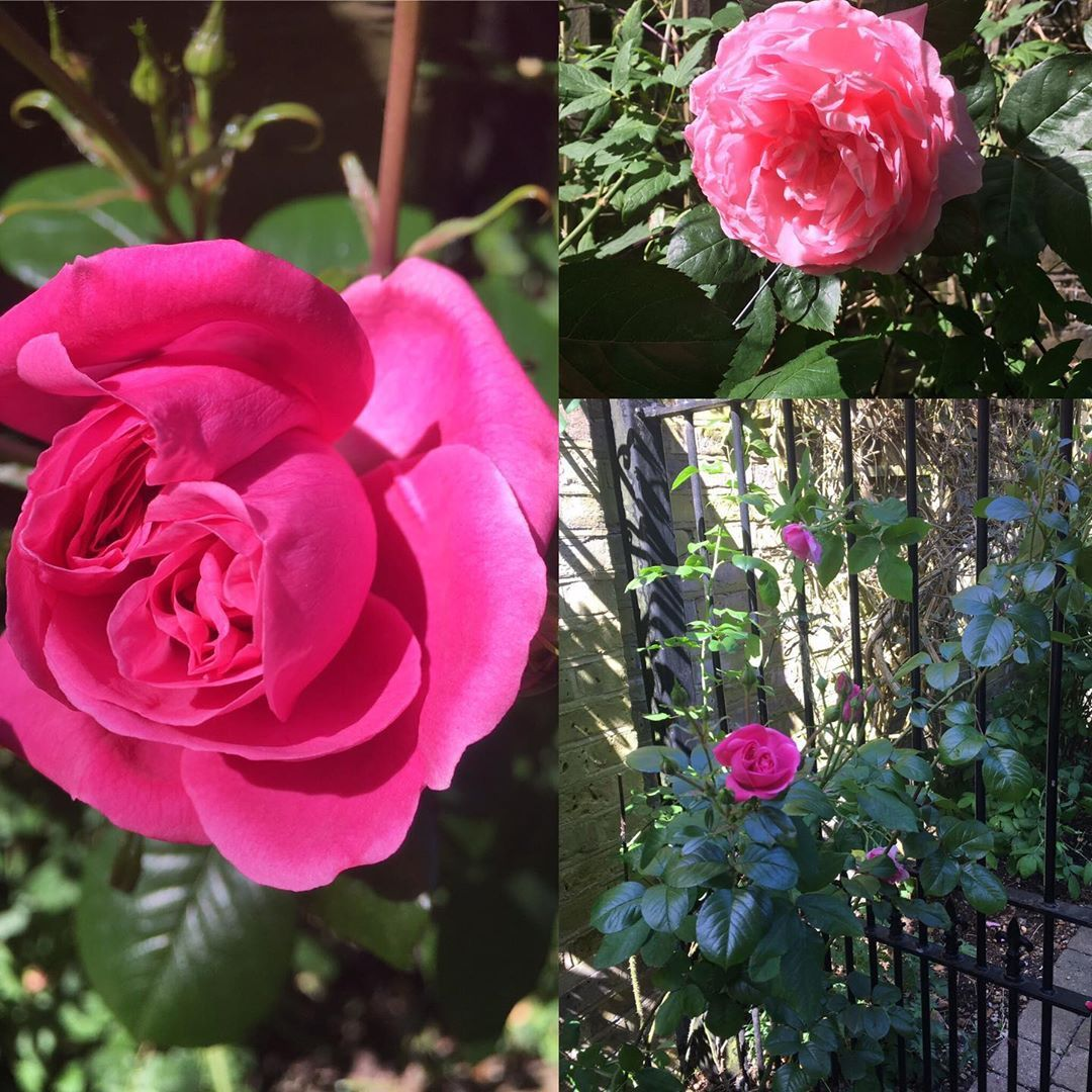 Roses are coming out to enjoy the beautiful weather. These really smell like proper old fashioned roses - beautiful. #rosesarepink #roses #gardengate #garden #may #thinkpink