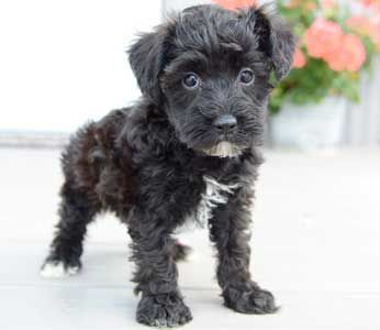 Schnoodle Puppies By Design Online Schnoodle Schnoodle Puppies For Sale Schnoodle Puppy