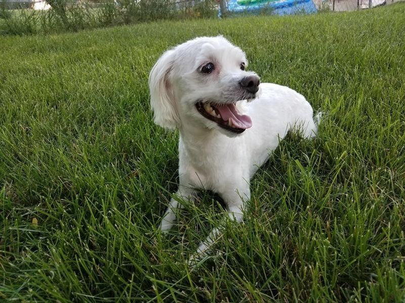 Adopt Lucy UPDATED on Dog adoption, Bichon frise, Bichon