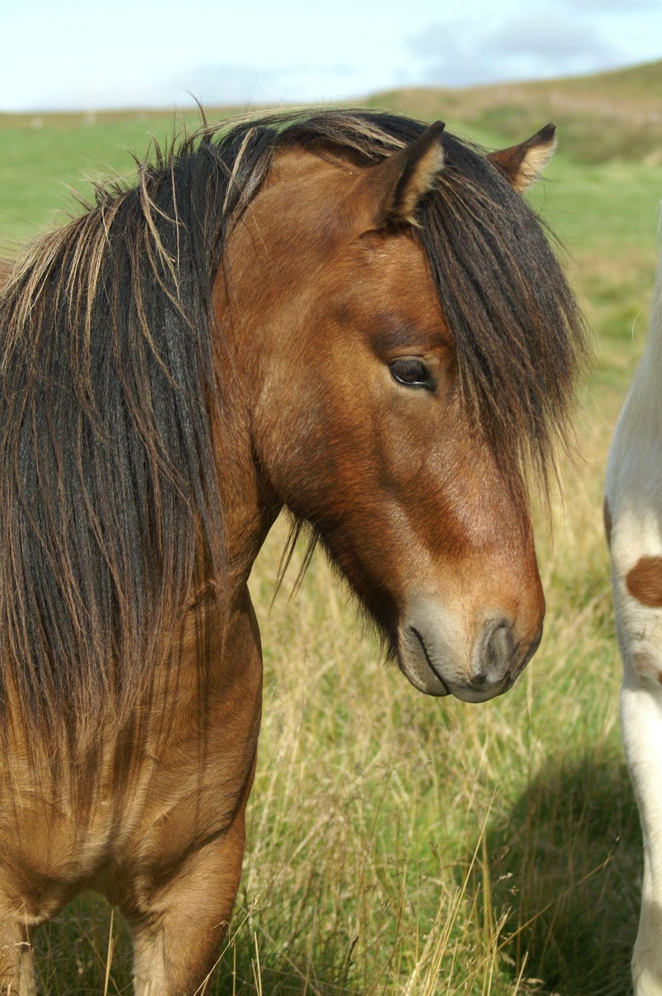 Fohlen / Jungpferde - icelandic horses for sale