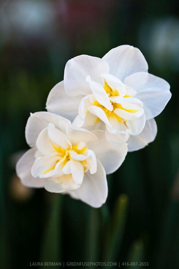 The 'Cheerfulness' Daffodil (Narcissus 'Cheerfulness')
