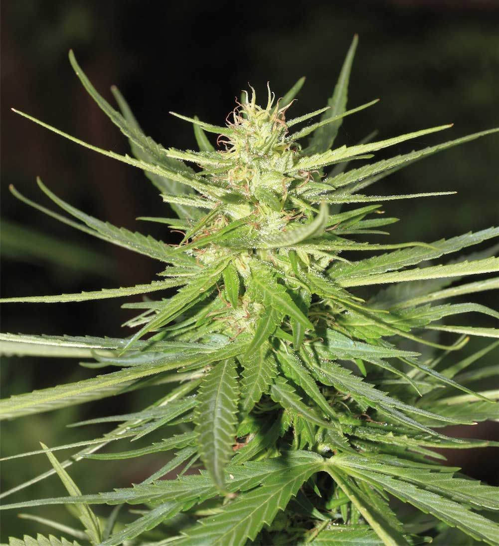 how to grow autoflowering seeds outdoors uk