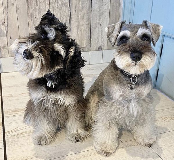 Different Haircuts For Mini Schnauzers In 2020 Schnauzer Grooming Miniature Schnauzer Puppies Mini Schnauzer