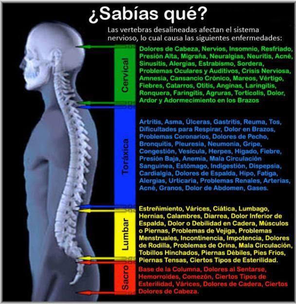 Cuerpo humano columna vertebral - Buscar con Google   masajes ...