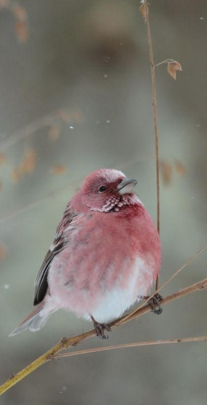 Pallas' Rosefinch. Sing, you wee little thing, sweetly sing!