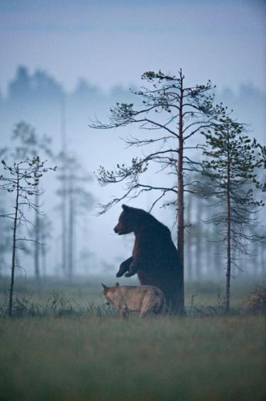 La Amistad Extraordinaria Entre Una Loba Y Un Oso Pardo Que Cautiva Al Mundo Animales De La Naturaleza Oso Pardo Animales Asombrosos