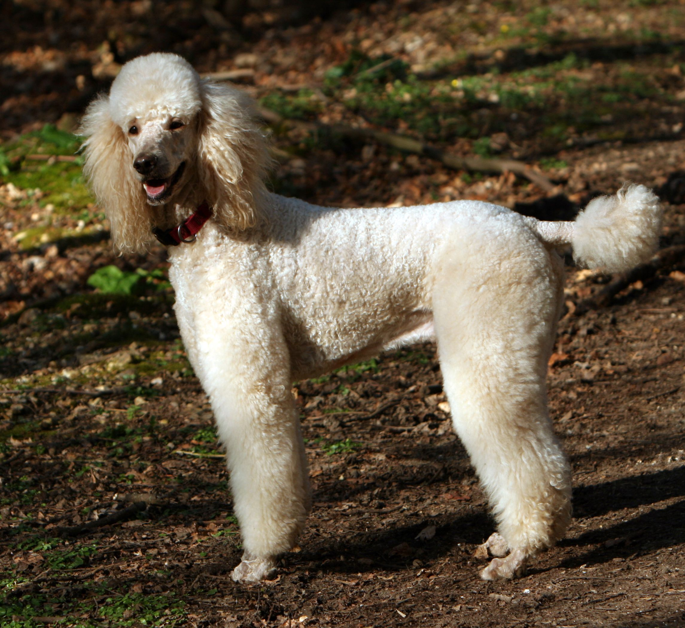 Teacup toy poodle wiki