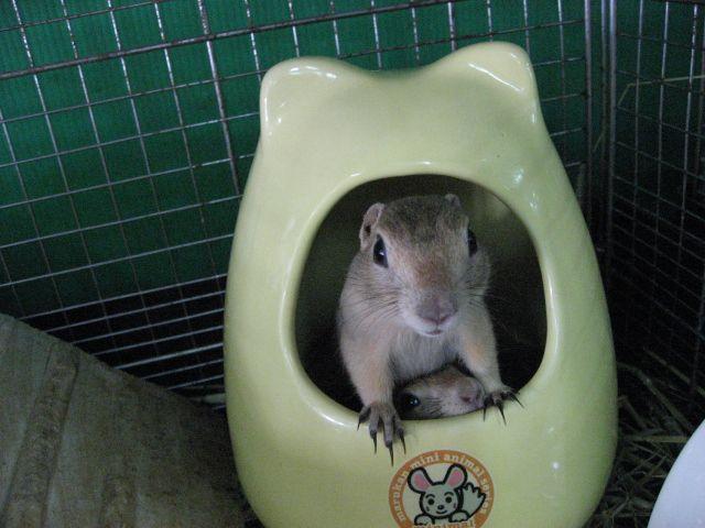 小動物専門店マリン 商品詳細 マルカン チンチラのおへや 小動物 チンチラ ペットショップ