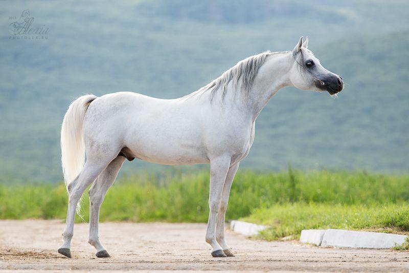 light grey - Arabian stallion Banderos