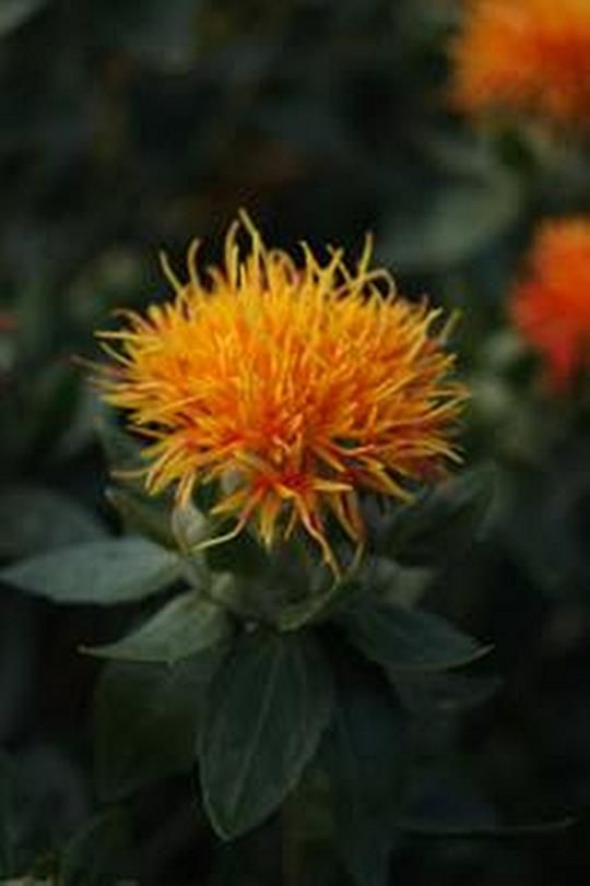 Carthamus Safflower Series Zanzibar Seed Seed Catalogs Seeds Climbing Plants