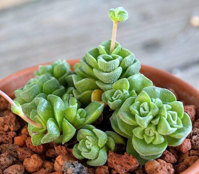 Crassula Susannae Crassula Crassula Succulent Plante Succulente