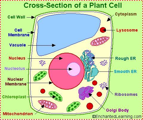 labeled plant cell plant and animal cell organelle. Black Bedroom Furniture Sets. Home Design Ideas