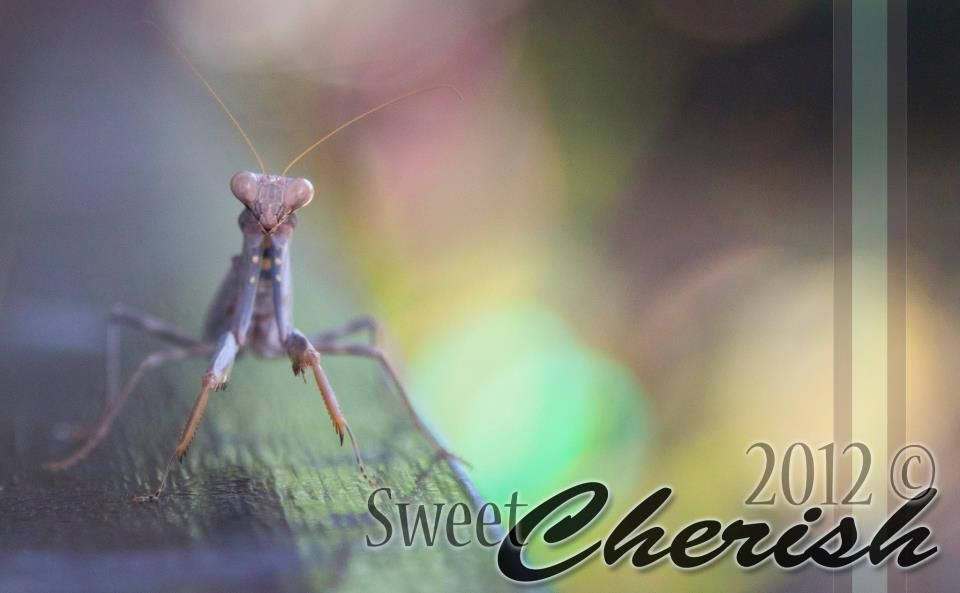 Praying mantis looking straight at my lens.