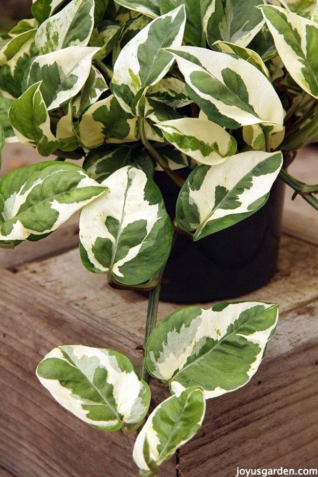 Pothos And Philodendron Plant Care Guide Plants Plant 640 x 480