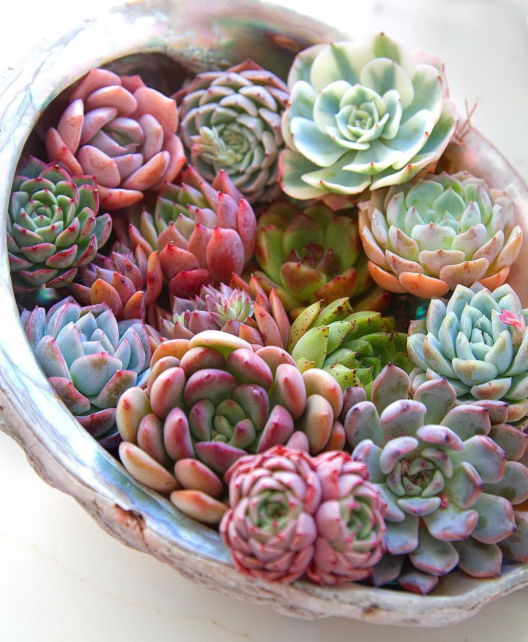 Echeveria | Succulents, Planting succulents, Rainbow succulent