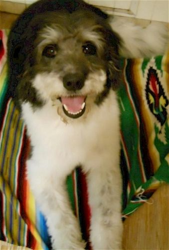 Adopt Cooper On Poodle Mix Dogs Portuguese Water Dog Dog Mixes