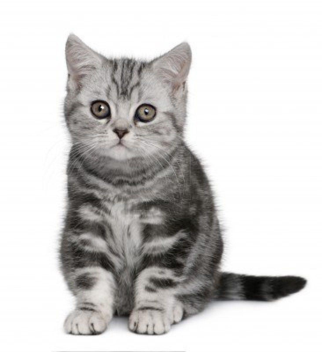 7128073 British Shorthair Kitten 10 Months Old In Front Of A White Background Jpg 1 098 1 200 Pixels Katte