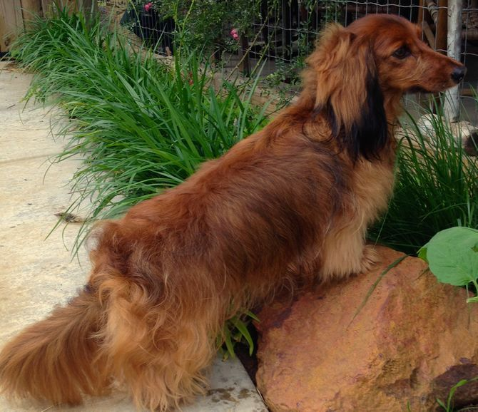 Groom A Longhair Dachshund Dachshund Breed Dachshund Long
