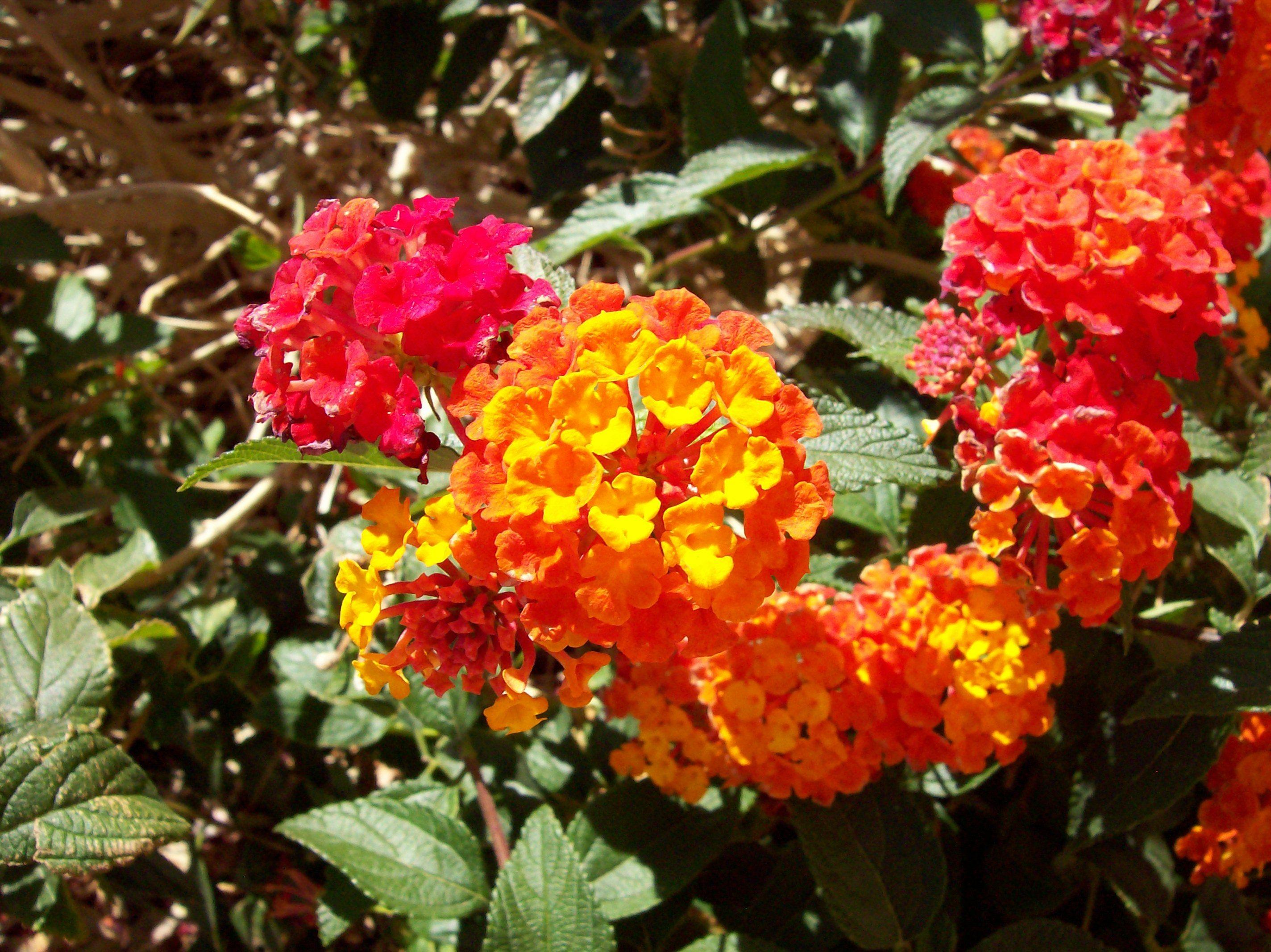 Lantana flowers Lantana, Flowers, Plants