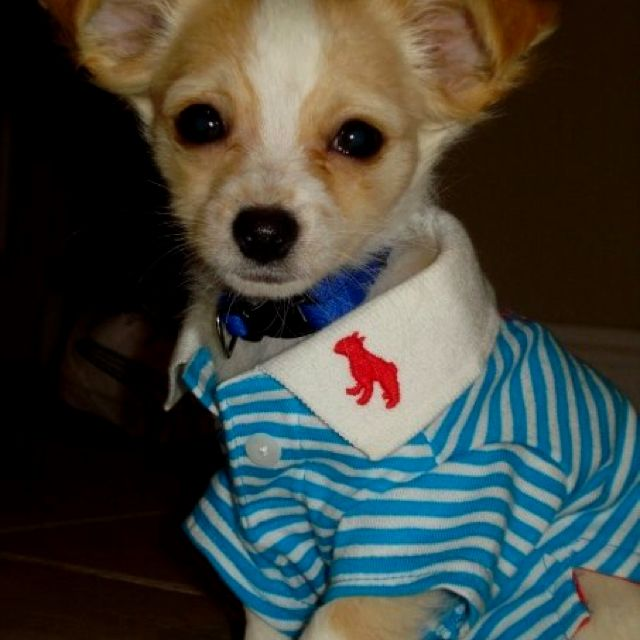 Not Exactly My Pudge But Close Lol Chihuahua Dogs Puppies Dog Cat