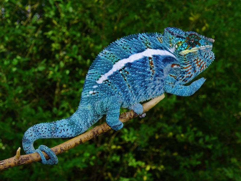 107 best images about Chameleons on Pinterest | Animals and pets ...