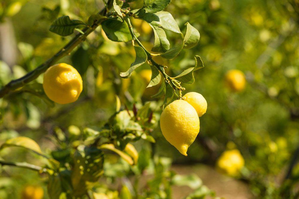 How To Grow A Lemon Tree From Pips Australian Handyman Magazine Growing Lemon Trees How To Grow Lemon Avocado Plant