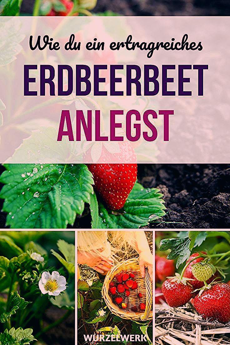 Der komplette Erdbeer-Guide: Erdbeeren pflanzen, anbauen und ernten - Wurzelwerk