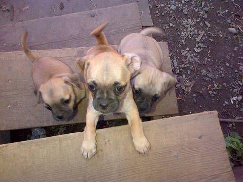 Mix Pug Chiweenie Puppies Chiweenie Puppies Chiweenie Puppies