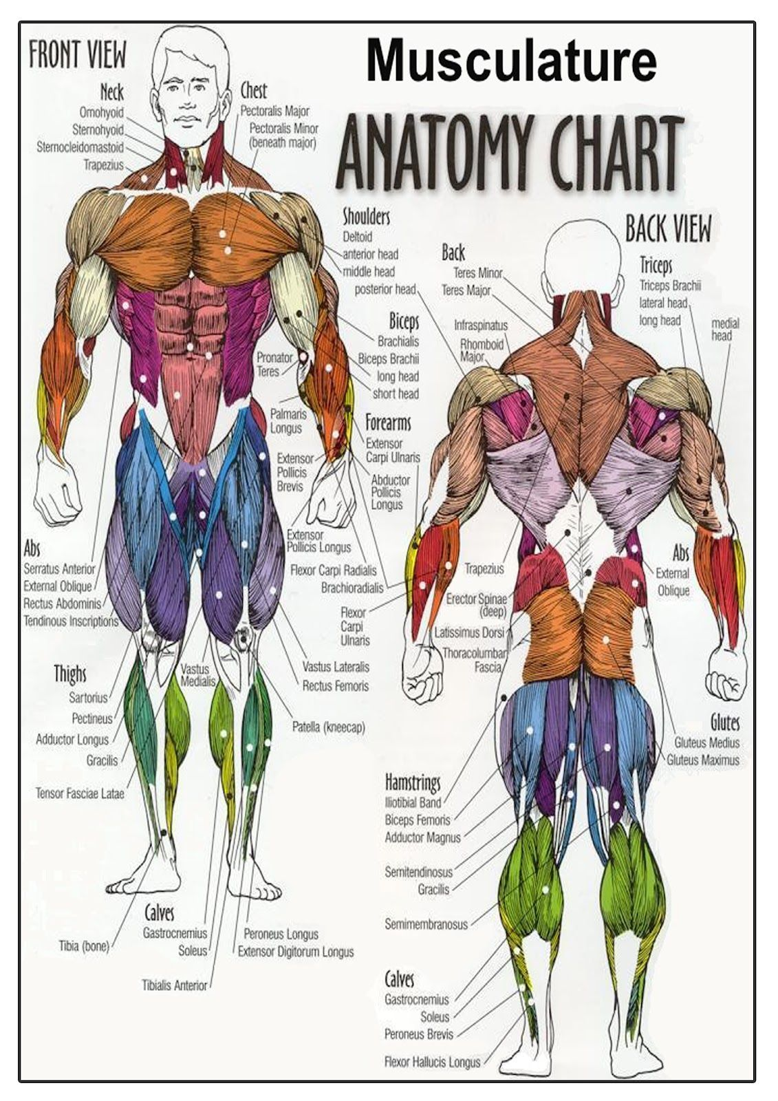 Anatomy Of The Human Body Appendix Ap Pinterest Muscle