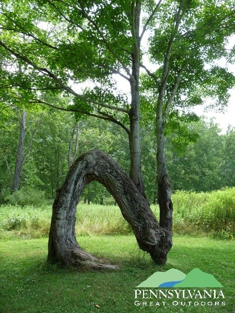 This fascinating tree is growing in Sinnemahoning State Park, Cameron County, Pennsylvania!