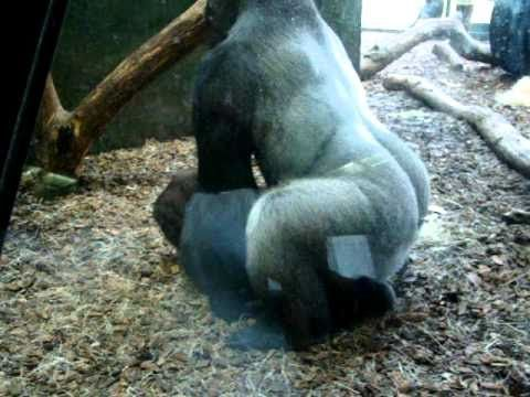 girl-fucked-by-gorilla