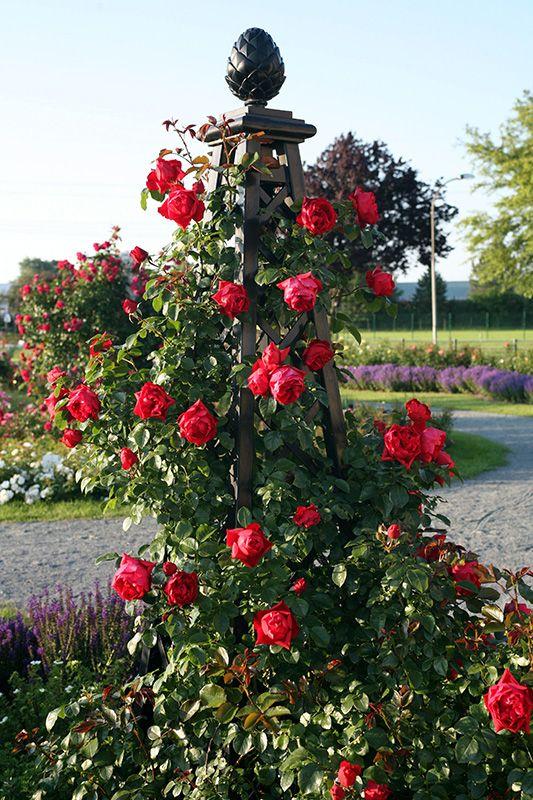 rose pillar malmaison garden obelisks. Black Bedroom Furniture Sets. Home Design Ideas