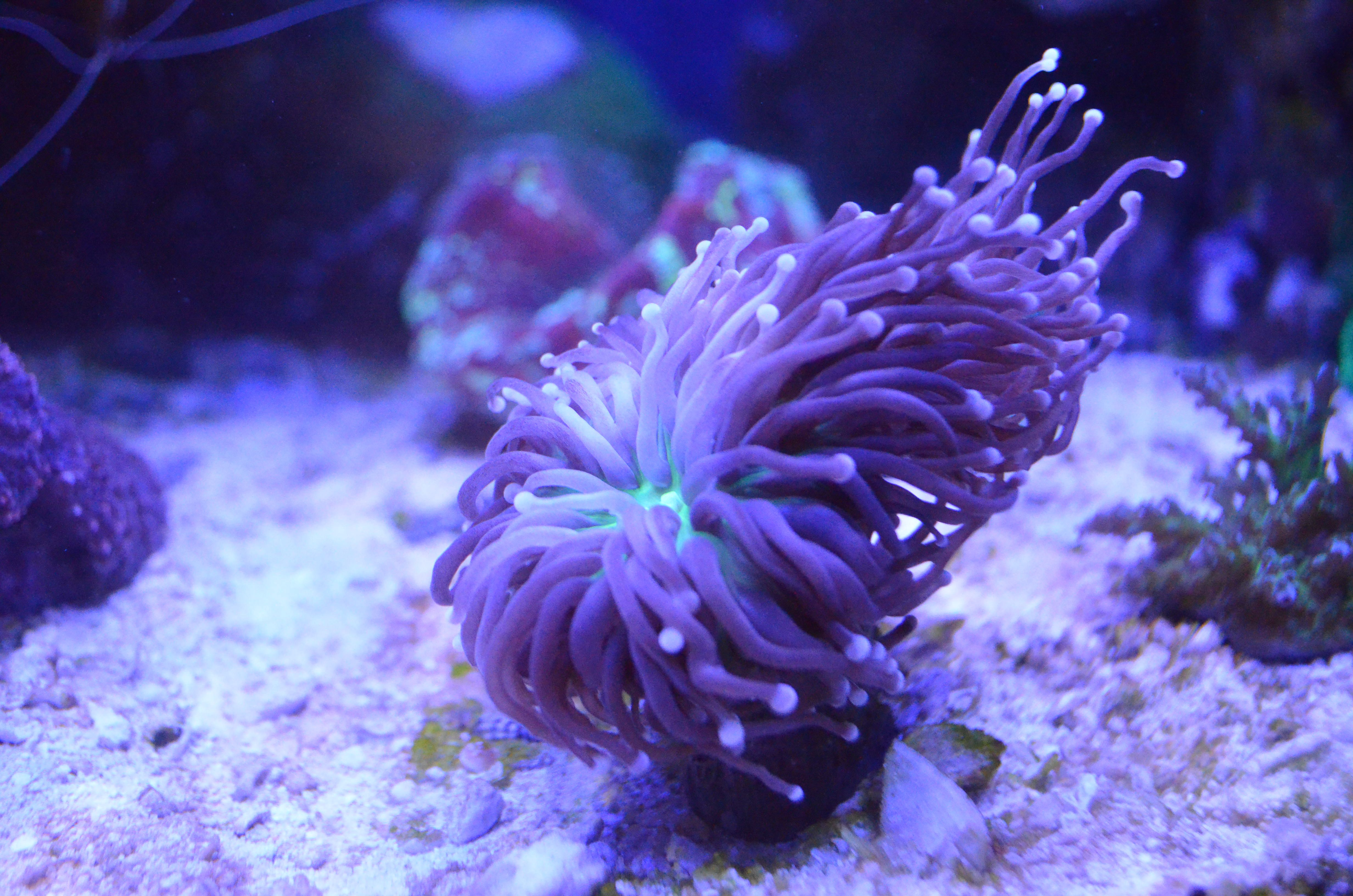 Saltwater Fish Tank Torch Coral