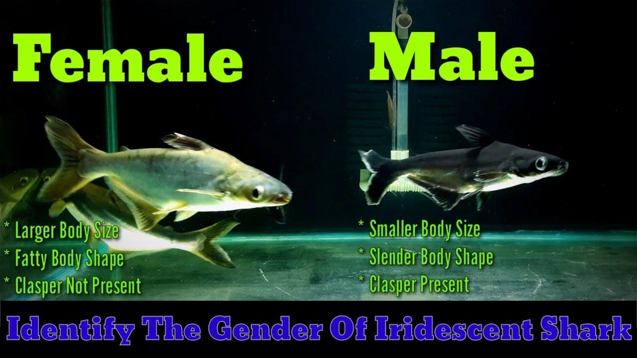 Pin By Zeek God On Animals Slender Body Male Shark