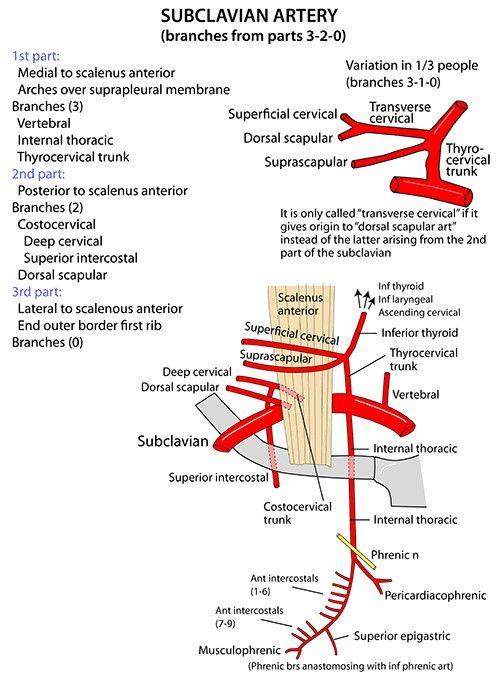 Subclavian Artery ... (*) VIT C & D ... #scalenus anterior ...