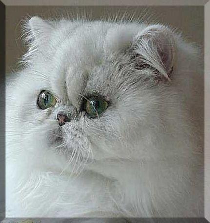 Windy Valley Persians Persian Cat Beautiful Cats Persian Kittens