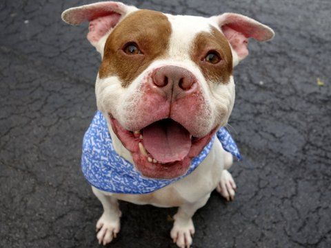 DYLAN - A1036180 - - Manhattan  TO BE DESTROYED  06/01/15  A volunteer writes: Named after my favorite lyricist of all times, Dylan won several of my 'awards' yesterday (no, he didn't write a song). He does snort when you hug him, so if that counts as a lyric it works for me! In no particular order my favorite things about Dylan are: 1) his whirlybird tail when he's happy 2) his wiggle butt when he's happy (he seriously has a PhD in wiggle butt