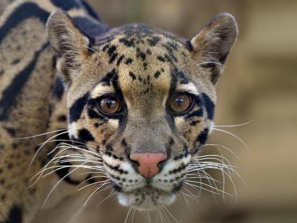 Animals   San Diego Zoo Animals & Plants   Cat species ...