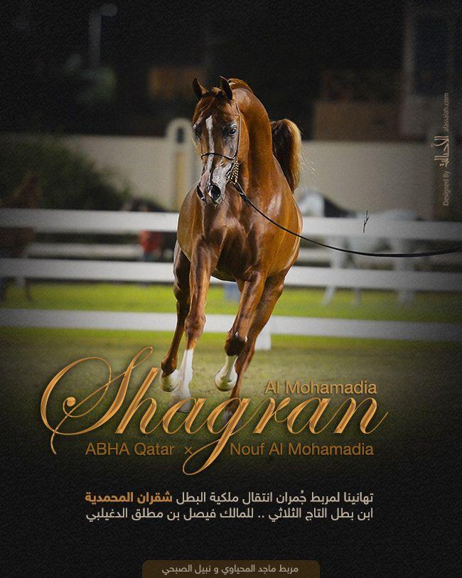 البطل شقران المحمدية الى مربط ج مران Arabian Horse Horses Arabians