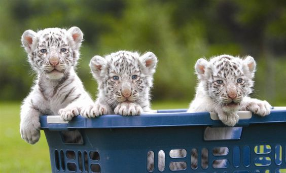 Cute tiger cubs in laundry basket cute animals pinterest tiger cute tiger cubs in laundry basket thecheapjerseys Image collections